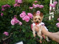ローズピンクのバラの前で