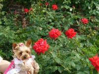 赤いバラの前で