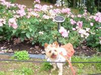 ピンクのバラの前で