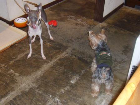 看板犬マックスくんとおもちゃを狙うルイくん