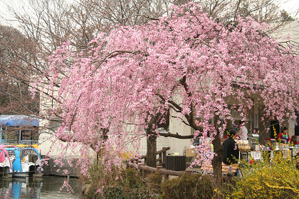 井の頭公園しだれ桜1