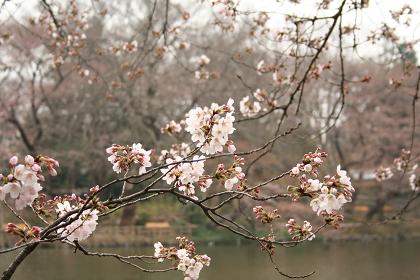 井の頭公園桜アップ