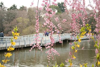 井の頭公園しだれ桜2