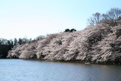 井の頭公園桜満開_1