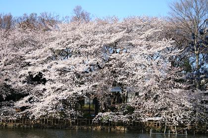 井の頭公園桜満開_2