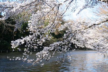 井の頭公園桜満開_3