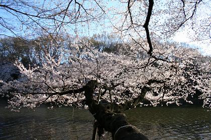 井の頭公園桜満開_4