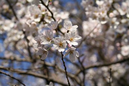 井の頭公園桜満開_5