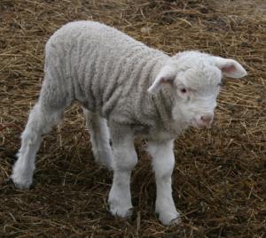 生まれたばかり?の子羊