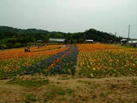 世羅の花畑 003