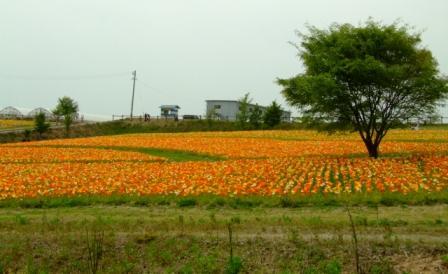世羅の花畑 012