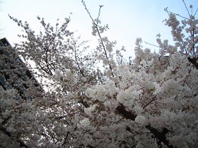 2006sakura-3.jpg