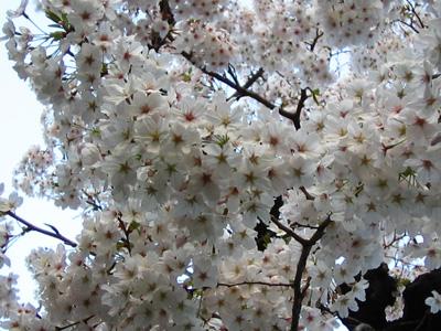 2006sakura-4.jpg
