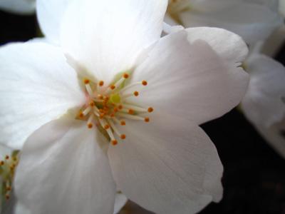2006sakura-6.jpg