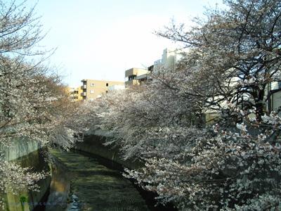 2006sakura.jpg