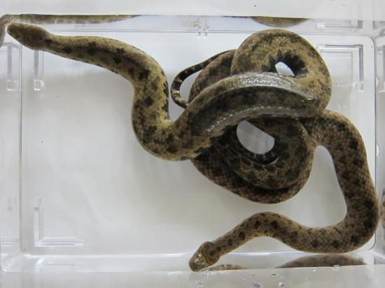 オナガミズヘビ