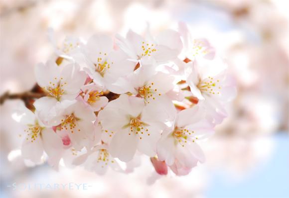 13上野桜1s