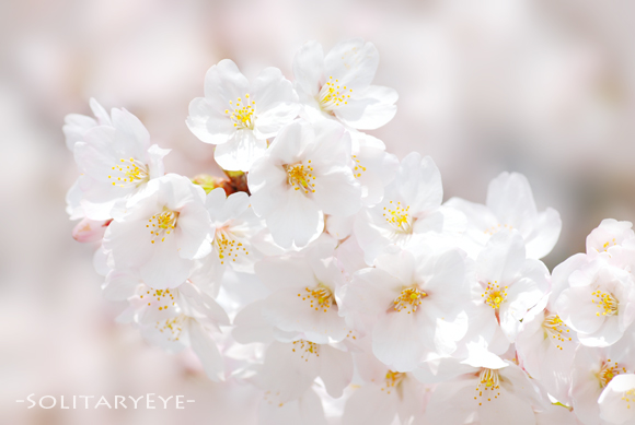 44上野桜s