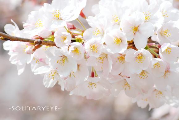 45上野桜s