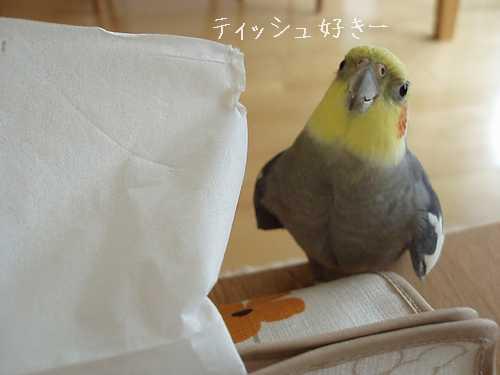hinomarunosu20081113001.jpg