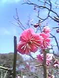 高岡城址公園の梅