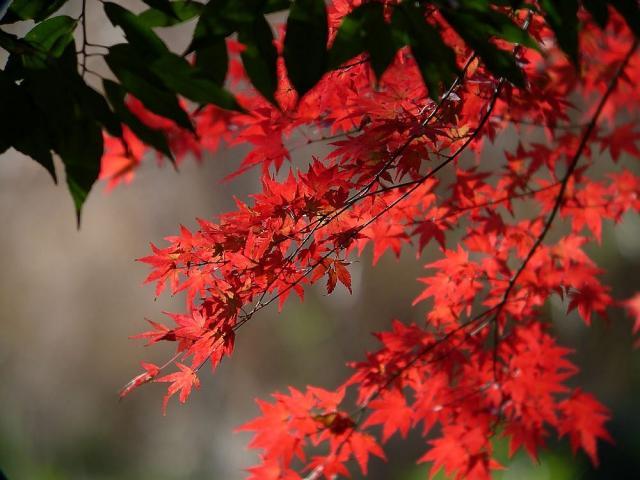 12月-紅葉