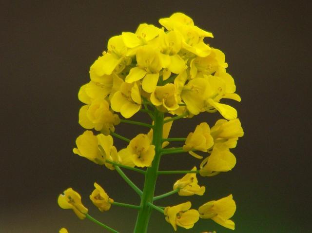 菜の花:クリックして大きな画像でご覧下さい
