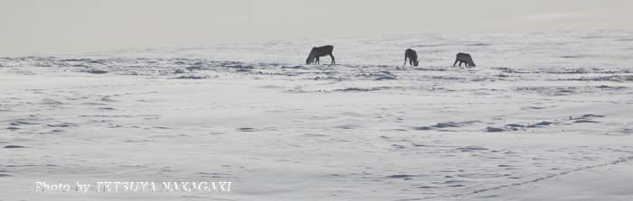 Mar.12-Caribou.jpg