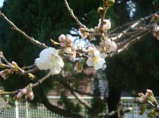 桜が咲きました 2008.3.15