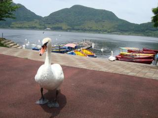 藺牟田池の白鳥さん 2008.6月