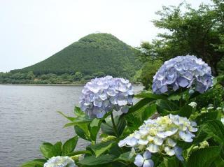 みずみずしい紫陽花 2008.6月