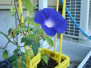朝顔さん 2008.9.3