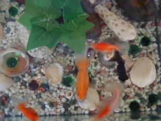 金魚さんたち 2008.9.3