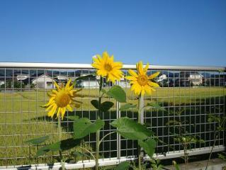 晴れやかに咲きました 2008.10.15