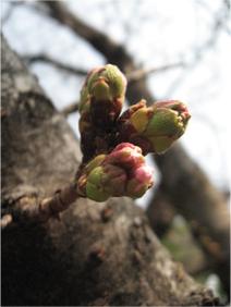 桜はまだつぼみ・・・