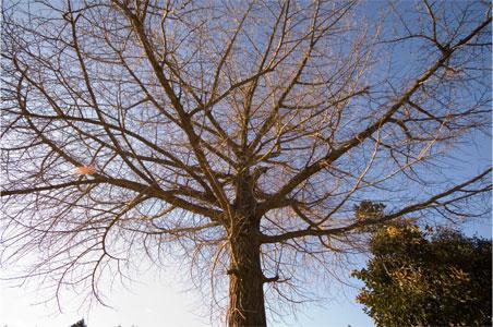「ばあばあばあ」の家の前の立派なイチョウの木