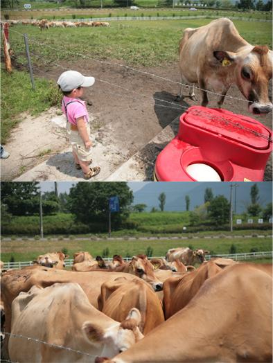 牛をさわりたい! とんきち