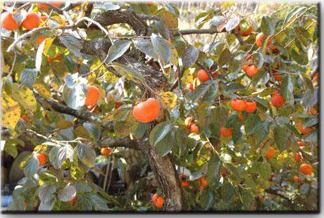 柿の木の多いこと・・・!