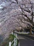 桜 004