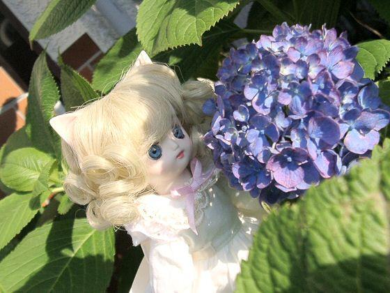 チビと紫陽花 002