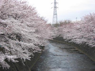 恩田川の桜1