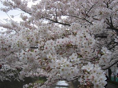 恩田川の桜アップ