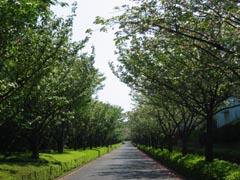 緑山の八重桜並木-9