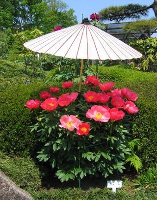 傘さし牡丹