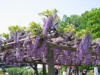 牡丹園の藤棚