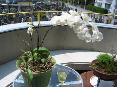 テラスで蘭の花