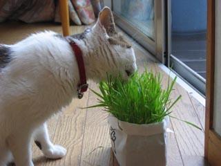 猫草を食べる凛①.