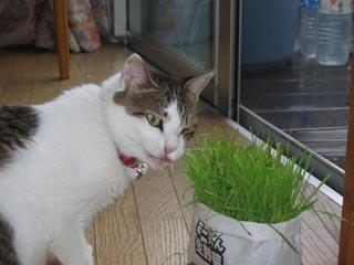 猫草を食べる凛②.