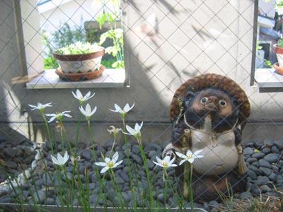 夏水仙と狸
