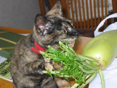 大根を食べる蘭